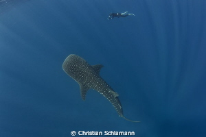 Beautiful time with a whale shark at the Silver Banks. by Christian Schlamann